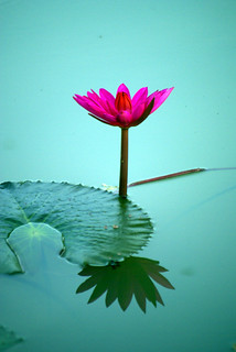 Lotus Flower | by The Hungry Cyclist