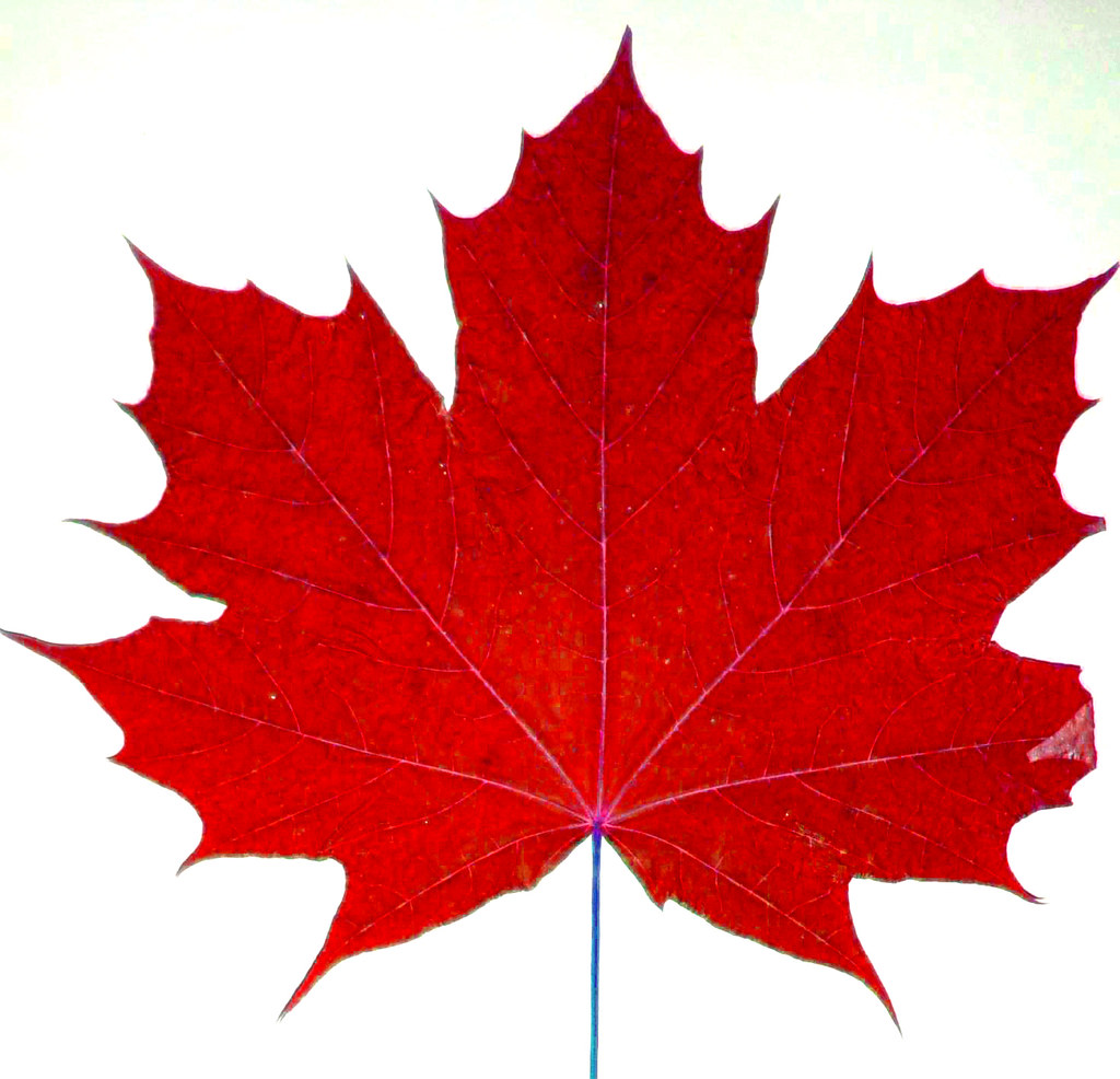 Maple Leaf Canadas National Symbol Canada Dominates Gold Flickr
