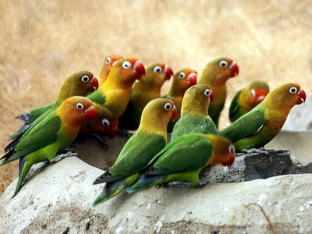 42 Parrots Agapornis Fischeri Fischer S Lovebird At
