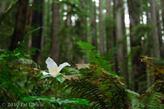 Trillium in the Forest | by Pat Ulrich