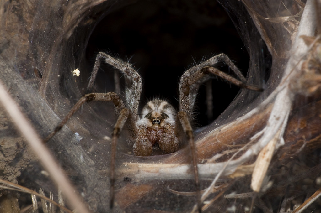 Image result for Funnel-web spiders