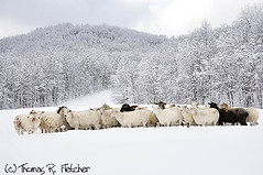 Sheep in heavy snow, family farm, Webster County, West Virginia | by travelphotographer2003