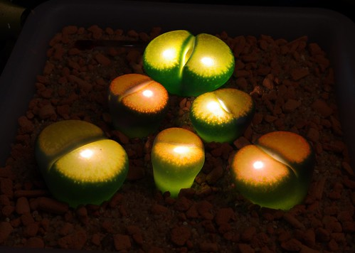 Lithops glow 6 | by yellowcloud