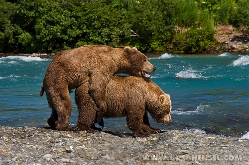 brown bear bruin mounting sow in heat brown bears mating a flickr
