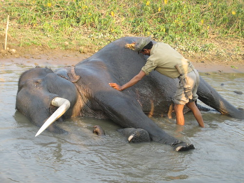 Scrub down your elephant in Kaziranga
