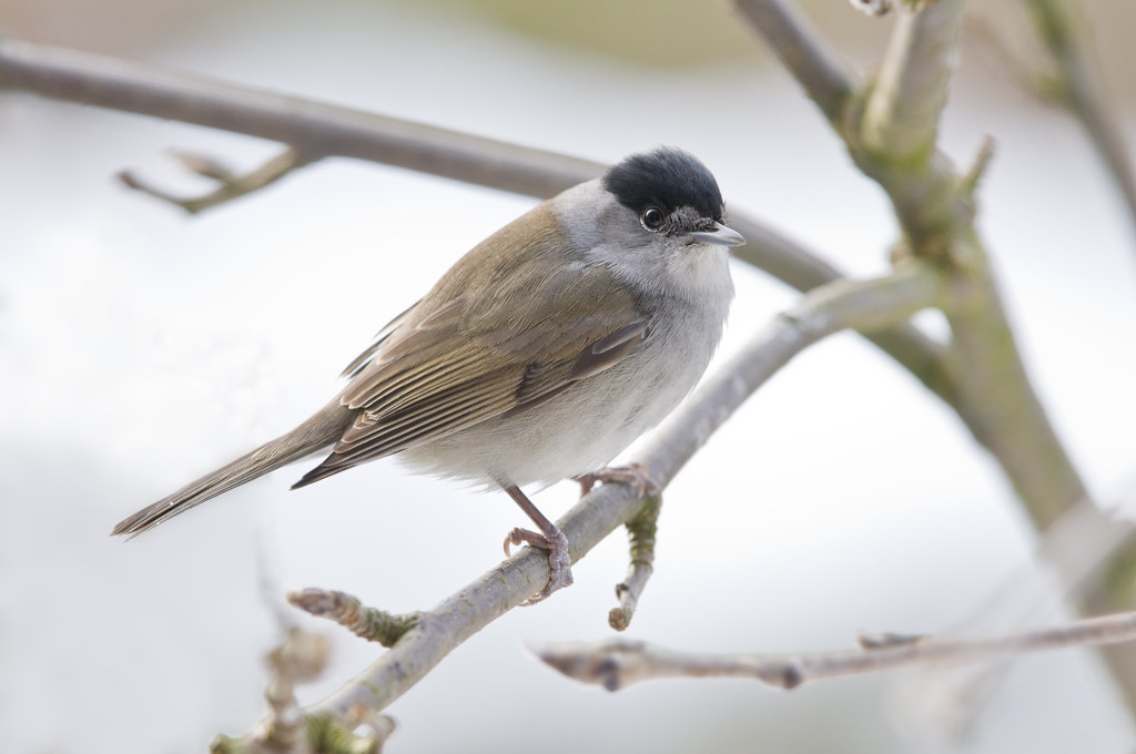 blackcap sylvia atricapilla male on a rowan or mountain flickr. Black Bedroom Furniture Sets. Home Design Ideas