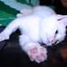 Mini Ko'a T. Cat