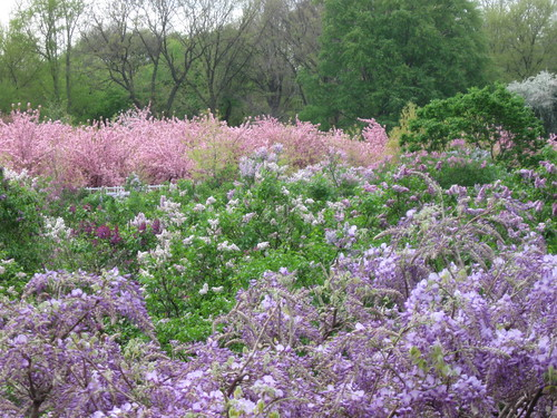 Lilac collection | by Brooklyn Botanic Garden