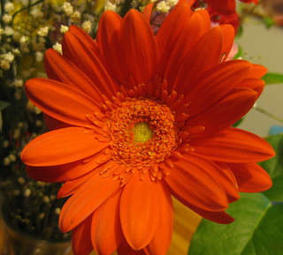 a gerbera for you-un bel fiore  per voi | by ottavia99