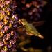 My first hummingbird shot! 4/3