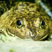 bullfrog eviltomthai