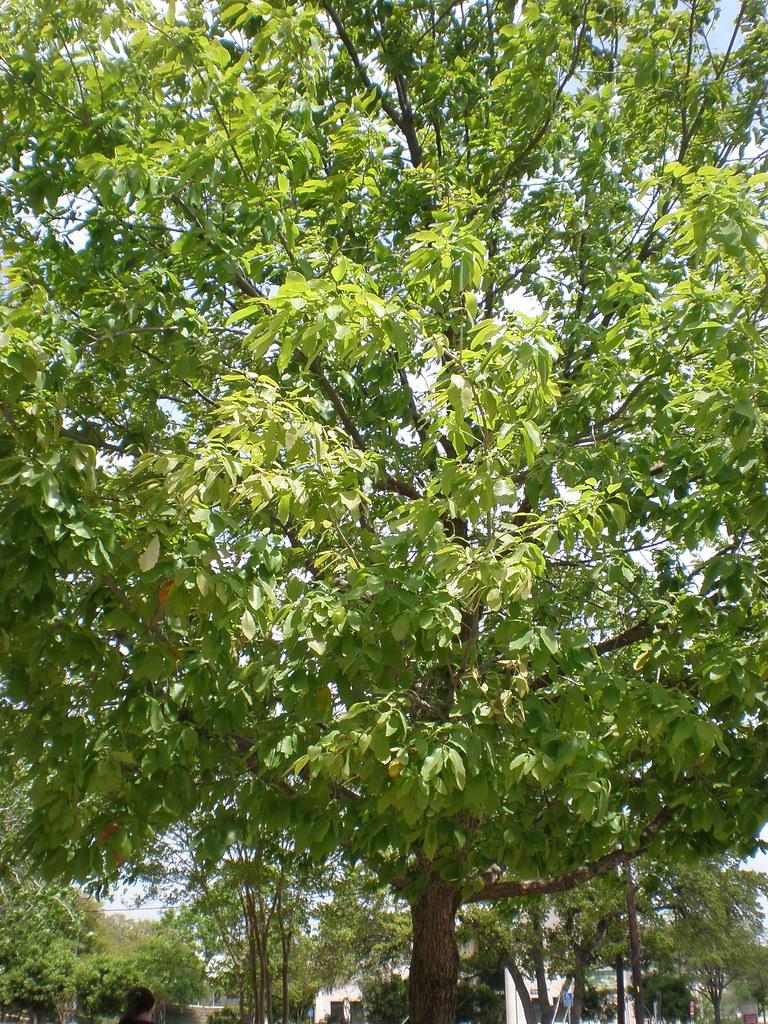 Chinquapin Oak, Chinkapin Oak | Beech Family Quercus ...