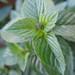Peppermint ACHS Garden Yigzaw