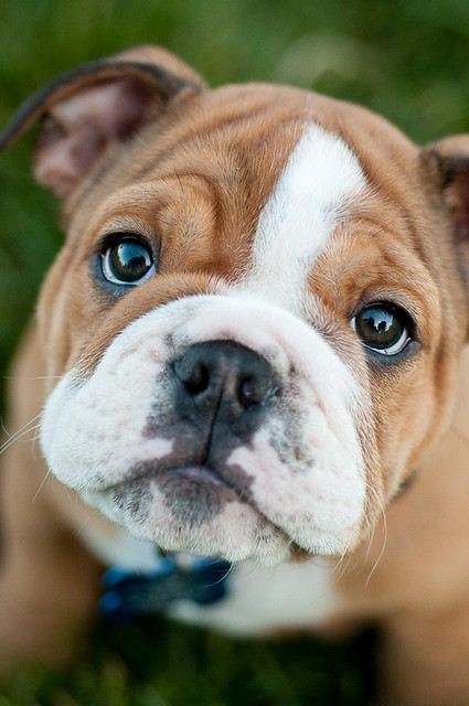 Image result for bulldog puppy