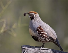 Gambel's Quail | by Hot Flash Photography