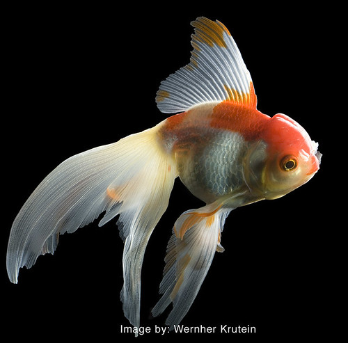 Fantail goldfish for Koi fish tail
