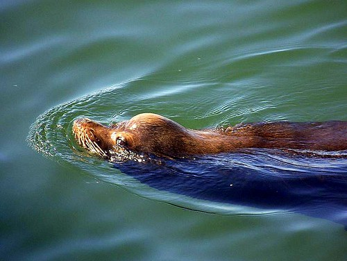 Columbia River Sea Lion, Astoria, Oregon | by the siegmanns