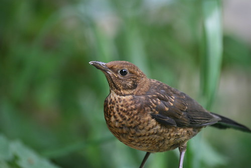 Blackbird youngster | by Laura Whitehead