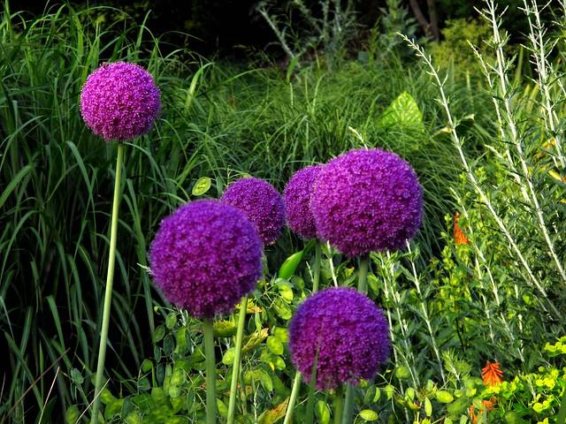 ail d 39 ornement allium les aulx sont des plantes herbac es flickr photo sharing. Black Bedroom Furniture Sets. Home Design Ideas