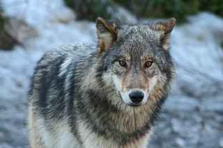 Wolf | by Jethro Taylor