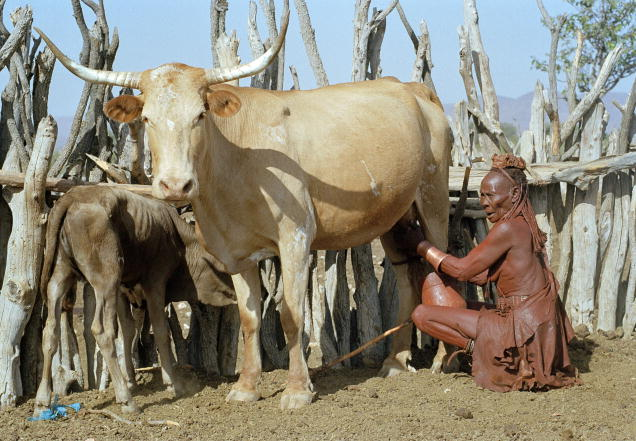 An elderly woman milking a cow in a Himba village near Opuwo Namibia Africa