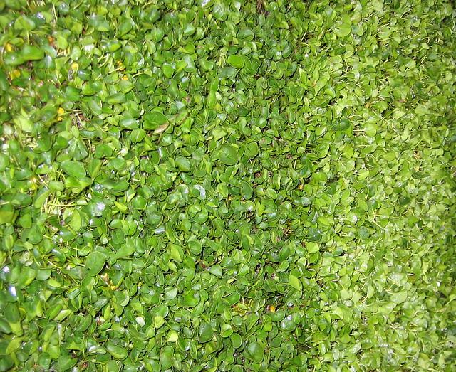 Tappeto di dicondra verdelogico dettaglio di zolla di for Erba dicondra