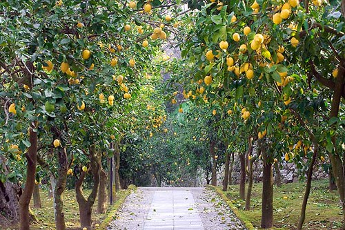 Pictures Of Lemon Trees 54