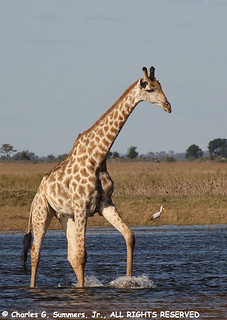 Chobe Giraffe negotiates shallow water 0R7E2324 | by WildImages