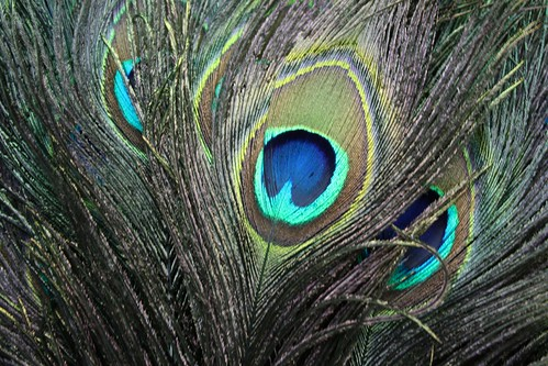 Iridescent peacock plumage | by BetterLifeCycle