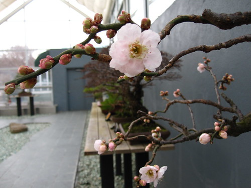 Prunus mume | by Brooklyn Botanic Garden