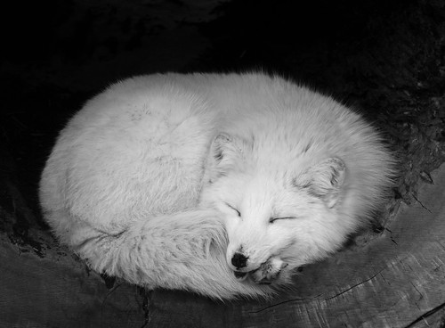 Acrtic fox sleeping | by Podsville