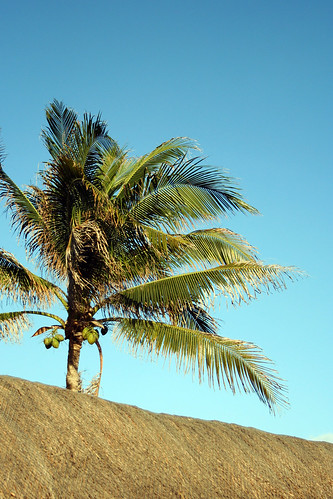 Palm Tree | by Lucian Savluc