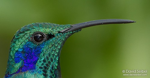 Green Violetear Close-Up | by David Seibel