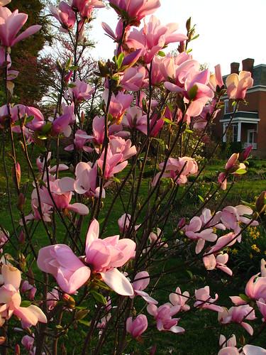 magnolia 'Jane'