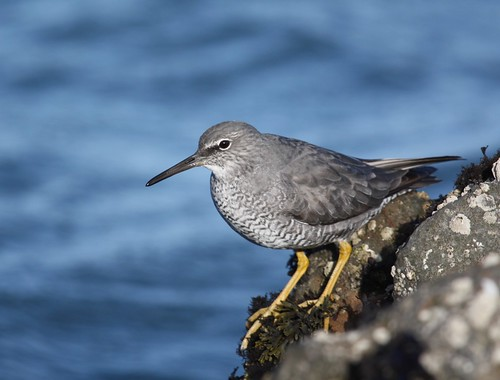 Wandering Tattler | by JAC6.FLICKR