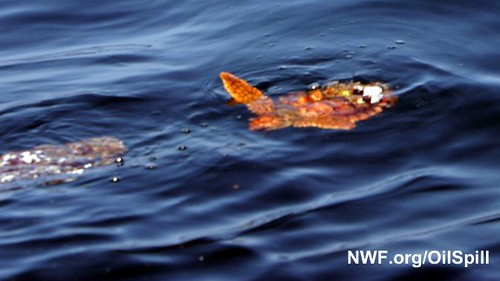 Young Sea Turtle Turned Red by BP Oil Spill | by NWFblogs