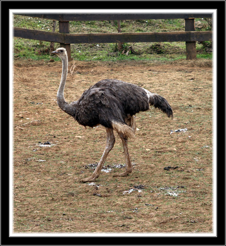 Avestruz el avestruz es el ave m 225 s grande del mundo desci