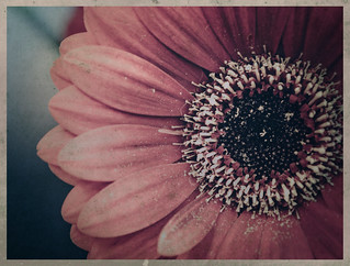 One gerbera | by Gladly Beyond