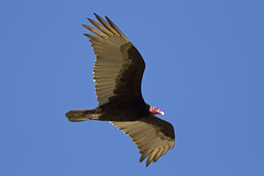 _MG_7169 Turkey Vulture | by Ned Harris