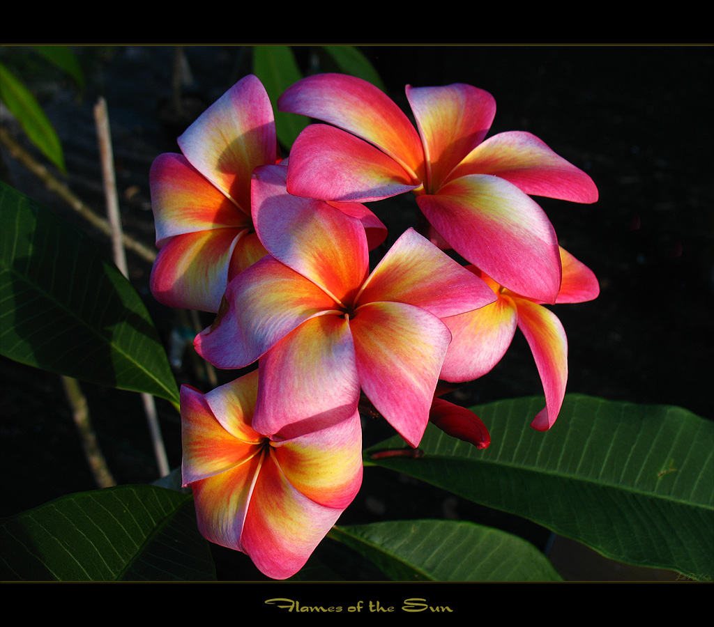 Rare Flowers Plumeria Flames Of The Sun Here Is Another Flickr