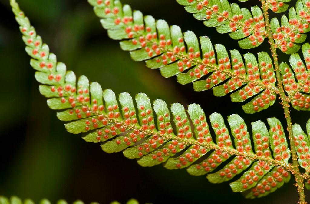 Sori On Underside Of Fern | Copyright © Daniel Ruyle A ... Fern Sporangia