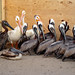 Gulf-Cleaned-White-Brown-Pelicans