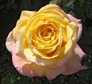 rose rose gloria dei lyubov flickr. Black Bedroom Furniture Sets. Home Design Ideas