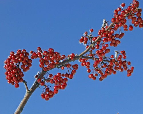 red jewels on blue sky | by Brian (aka treehugger_007 )