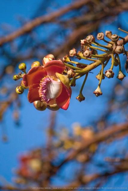 sal flower   20100116   img 5496   cannonball flower