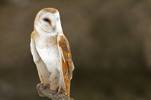 Barn Owl | by Michael Zahra