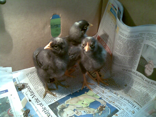365/53 - Chickies | by dragonsinger