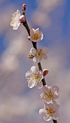 Japanese Apricot | by kwilliams