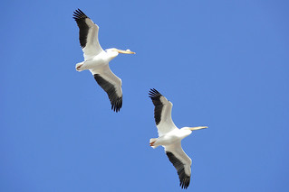 American White Pelicans 2 | by colographicalchemy I'm back