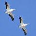 American White Pelicans 2